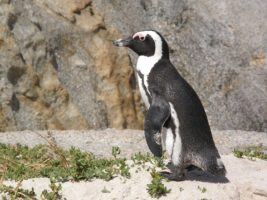 Waddle along at Boulders Beach